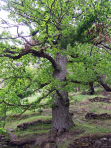 La madera del nogal Juglans regia, es la más cotizada.