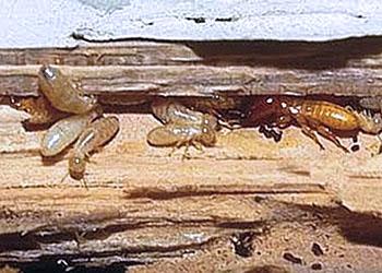 termitas en la madera de casa